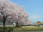 鶴ヶ城下の小彼岸桜並木_b.jpg